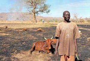 Sudanese man standing next to injured and dead cows …