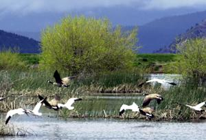 FILE - In this May 9 2005, file photo, shows snow geese …