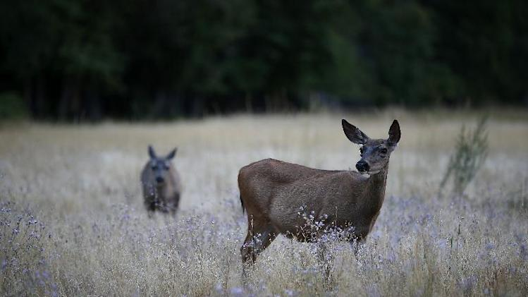Two deer graze in a Yosemite Valley field on August 28, 2013 in Yosemite National Park, California