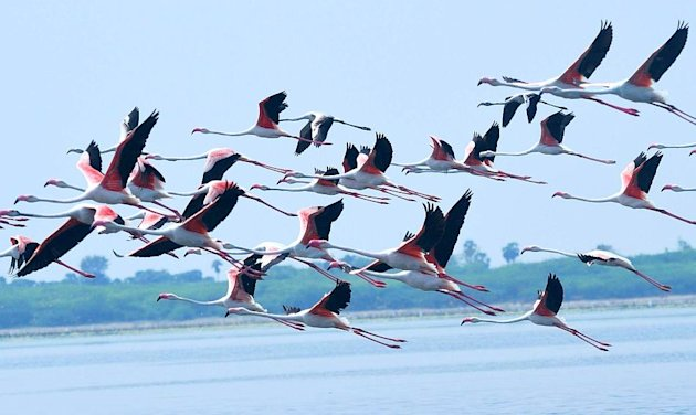 Flamingos at Pulicat Lake. Photo: Lakshmi Sharath. Click for story