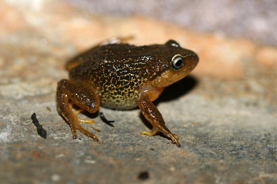 Pristimantis macrummendozai frog was discovered in the Iguaque Merchan paramos, Colombia's East Andes (AFP photo)