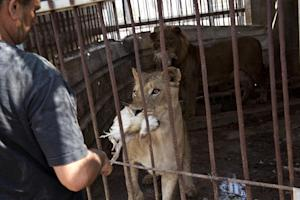 Zookeeper Farid al-Hissi feeds lions at the Bisan City…