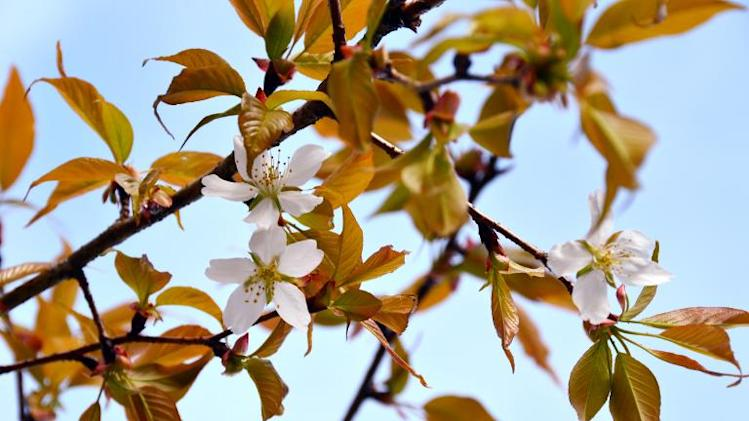 A cherry tree in bloom, grown from a cherry pit that spent time onboard the International Space Station (ISS), is shown at the Ganjoji temple in Gifu city, central Japan, April 3, 2014