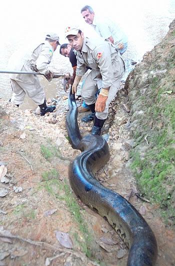 Cobra sucuri é capturada em Goiás