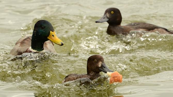 "A man was whacked with the bird while he filmed the annual ""duck chase"" in the Catalonian seaside town of Roses, where every August ducks are thrown into the Mediterranean and then caught and brought back to the shore by swimmers"