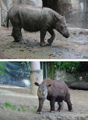 Suci (top), a female Sumatran rhino, and Harapan (below), …