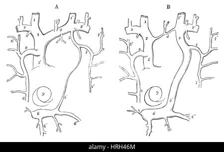 Arm Veins Diagram Great Saphenous Vein Diagram Wiring