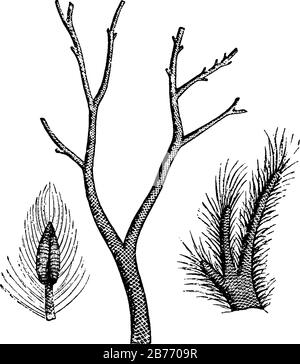 Extinct scale tree, Lepidodendron of the Carboniferous era