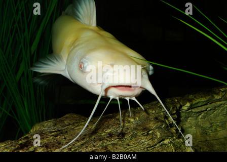 albino channel catfish ictalurus