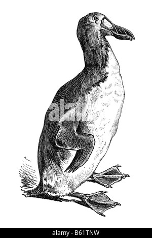 the great auk alca impennis The Great Auk, Pinguinus