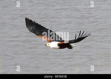African fish eagle flying above lake Naivasha. Africa