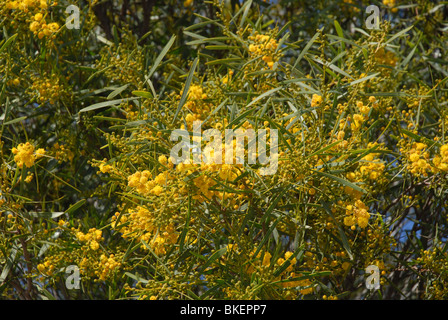 Bright yellow flowering Wattle Tree Acacia Geraldton