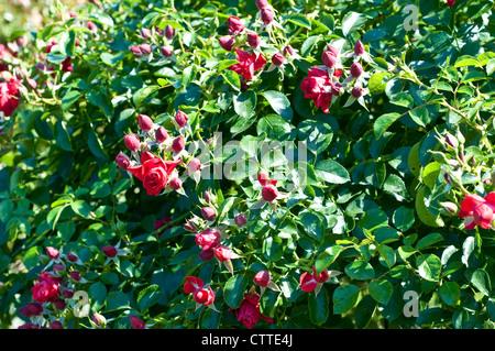 Rosa Flower Carpet Scarlet Stock Photo, Royalty Free Image