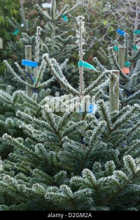 frost on conifer Christmas trees awaiting sale in garden ...