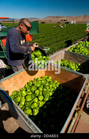 migrant Mexican workers pick vegetable crops in fields of
