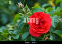 Rosa Flower Carpet Scarlet Stock Photo, Royalty Free Image