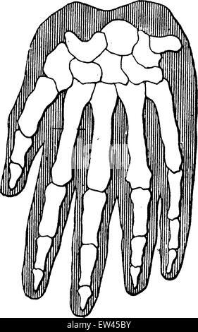 Hand Bones Gorilla skeleton anatomy finger thumb knuckle