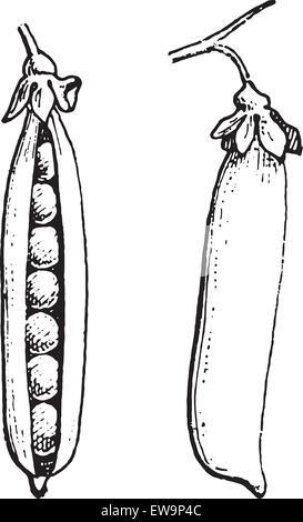 Peas or Pisum sativum, vintage engraved illustration