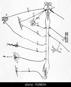 medicine, anatomy, nerve cell, schematic diagram of a