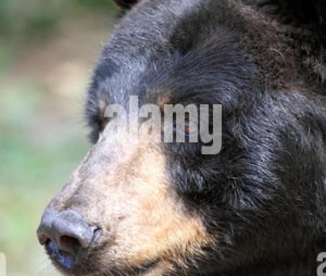 American Black Bear Ursus Americanus At The Popcorn Park Zoo Animal Rescue Sanctuary