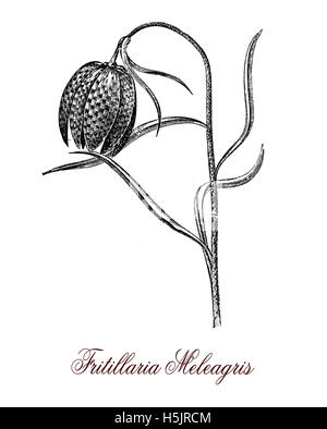 snake's head fritillary flower drawing illustration. Black
