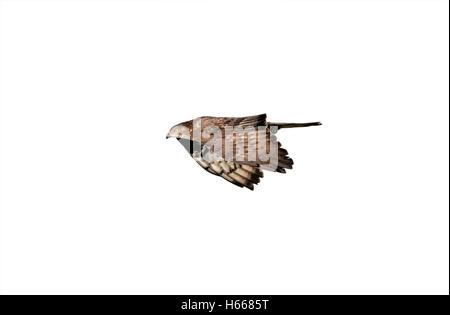 Honey buzzard Pernis apivorus flight spring Spain Stock