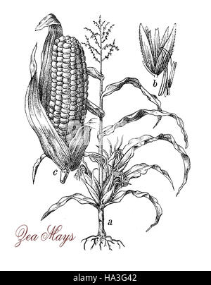 Corn, Maize or Zea mays, vintage engraving. Old engraved