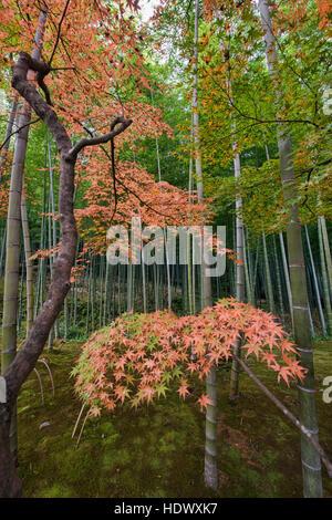 Autumn leaves and bamboo forest. Arashiyama. Kyoto. Japan Stock Photo: 127612833 - Alamy