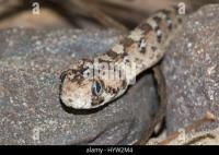 West African Carpet Viper or Ocellated Carpet Viper (Echis ...