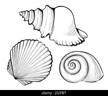 Cockle, shell illustration, drawing, engraving, ink