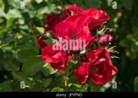 Rosa Flower Carpet Scarlet Stock Photo, Royalty Free Image ...