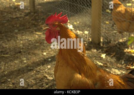 Rooster Crowing Stock Photo 184214230  Alamy