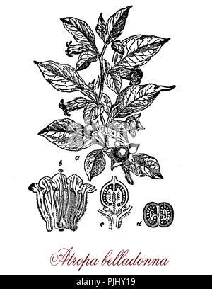 Deadly Nightshade or Atropa belladonna, vintage engraving