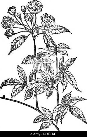 . Trees and shrubs : an abridgment of the Arboretum et