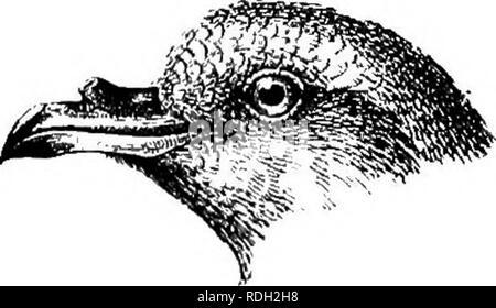 . The birds of South Africa. Birds. OCEANITIDiE OCBANITES