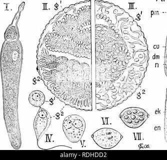 . A manual of zoology. Zoology. III. SPOROZOA 185 by a pit