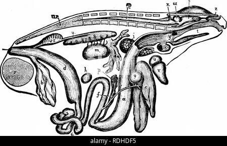 . A manual of zoology. THE METAZOA 65 epithelium through a