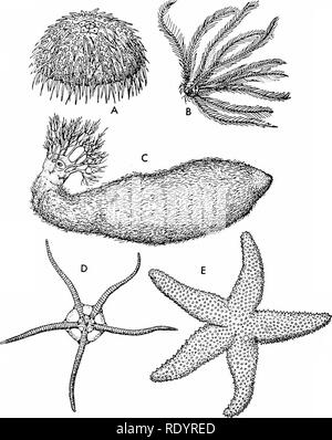 The calcareous skeleton of a common Sea Urchin shell