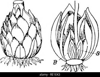 Garlic, Allium sativum, showing flower, leaf, bulb and