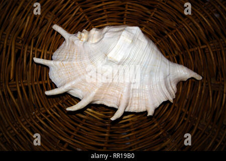 Huge White Sea Shell With A Pearl Tone Lying On A Wicker Stand Stock Photo