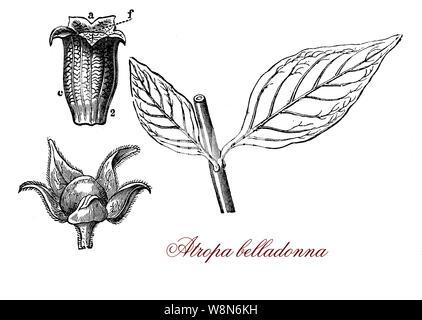 Deadly nightshade, Atropa belladonna poisonous and