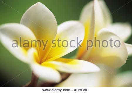 Frangipani Plumeria Mahe Island Seychelles Africa