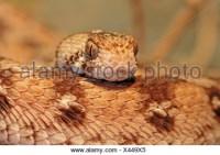 West African carpet viper, Echis ocellatus, West Africa ...