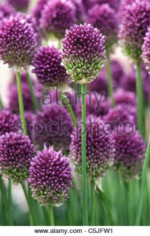 Allium Sphaerocephalon Runde Spitze Lauch Rundkpfigen
