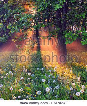 Blhende Ahornbaum im frhen Frhling Rsselsheim Hessen