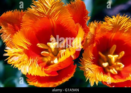 Eine Nahaufnahme der orange Tulpen blht Stockfoto Bild 59020877  Alamy