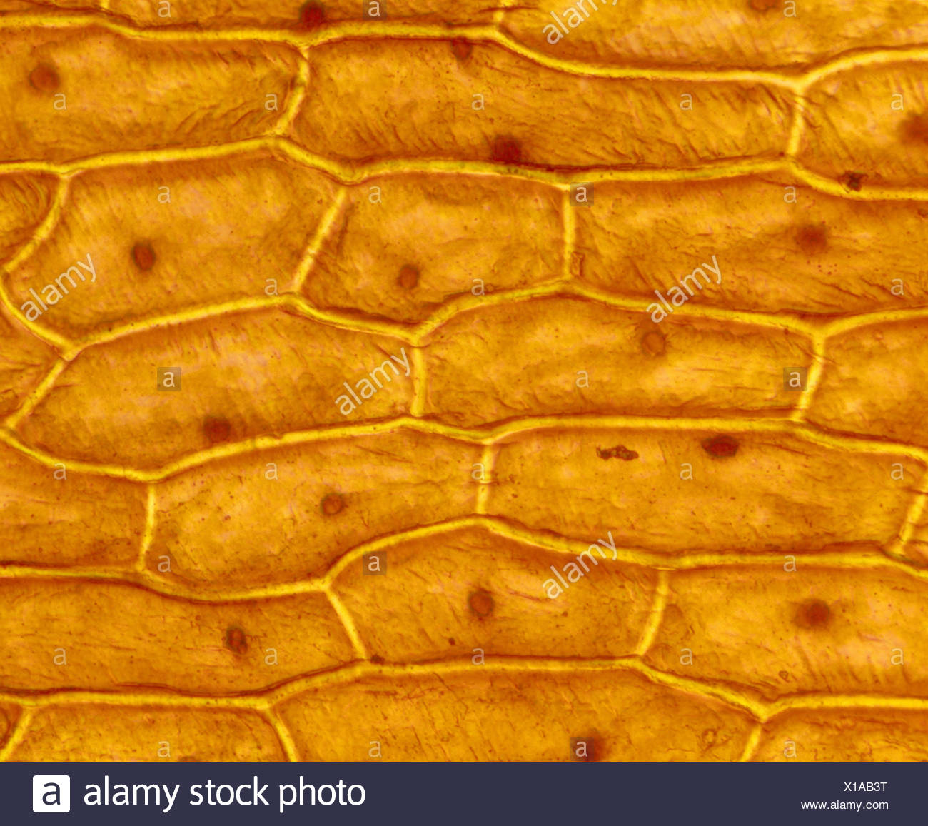onion cell diagram vivint thermostat wiring cells stock photos and images alamy