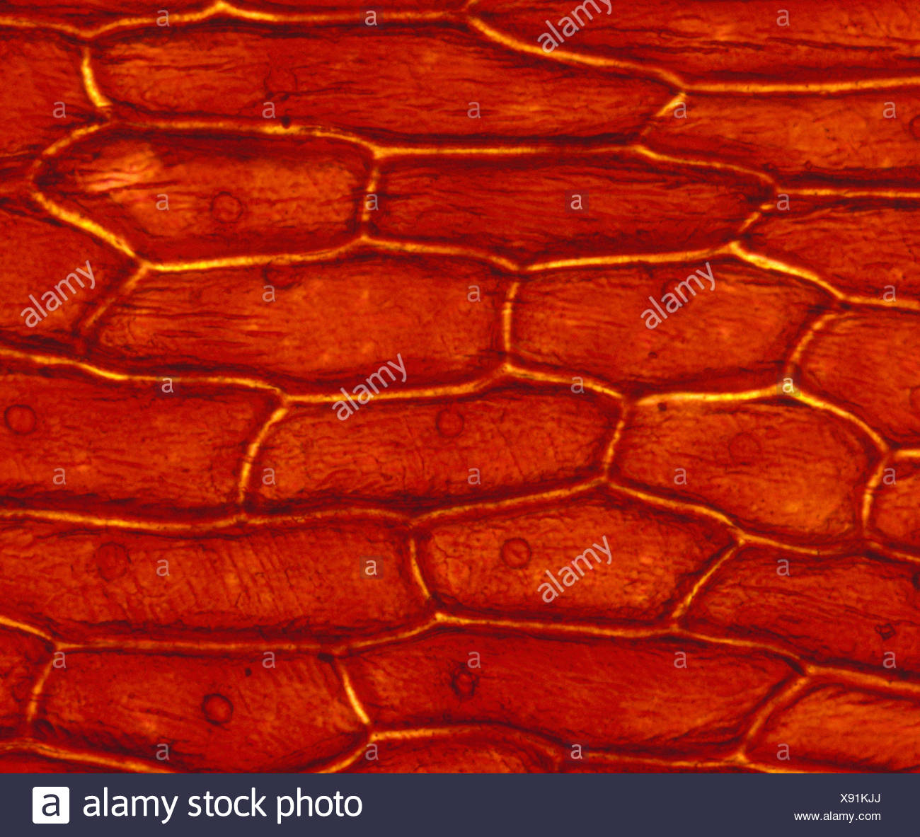 onion cell diagram milbank meter base wiring cells stock photos and images alamy