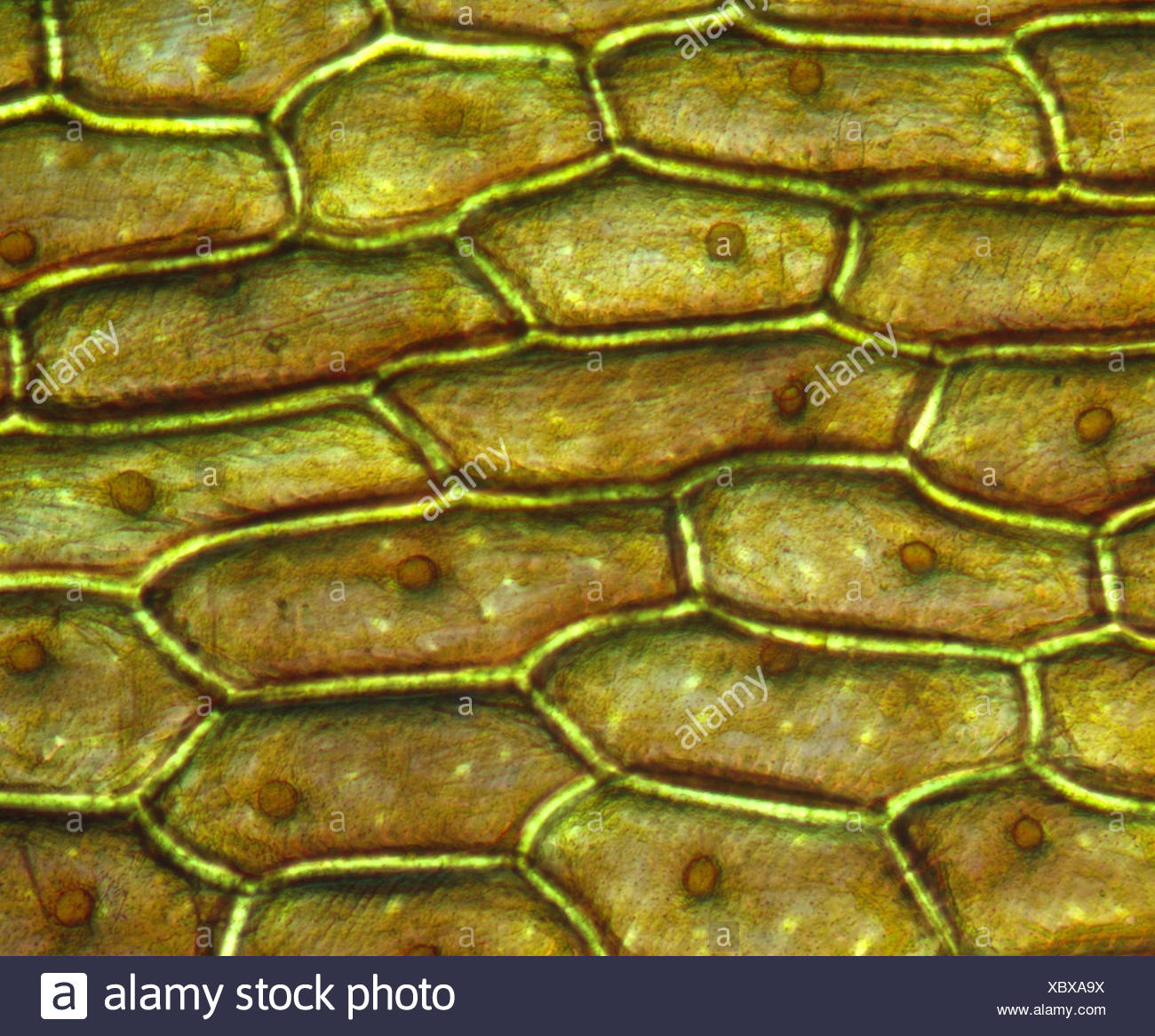 onion cell diagram appendix location cells stock photos and images alamy