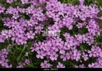 Carpet Phlox Stock Photos & Carpet Phlox Stock Images - Alamy